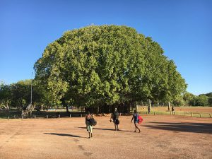 figtree1